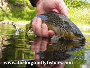 Brown Trout brought to hand